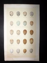 Seebohm 1896 Antique Bird Egg Print. Bunting, Lark, Wagtail 58